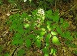 Doll's Eyes; White Baneberry (Actaea pachypoda)