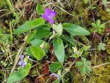 Downy Violet (Viola sagittata v. ovata)