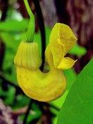 Dutchman's Pipe (Aristolochia macrophylla)