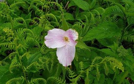 Fading Large-flowered Trillium (Trillium grandiflorum)