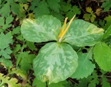 Fading Yellow Toadshade (Trillium luteum)