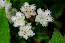 Fringed Phacelia (Phacelia fimbriata)