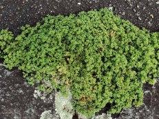 German knotgrass; Knawel (Scleranthus annuus)