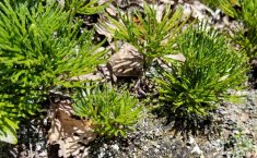 Ground Cedar (Lycopodium tristachyum)