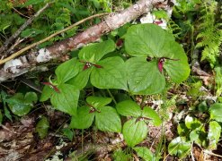 Group of Maroon-colored Wake Robin (Trillium erectum)