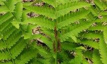 Interrupted Fern (Osmunda claytoniana) spore-bearing pinnae