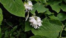 Kentucky Yellowwood (Cladrastis kentukea)