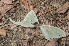 Former Luna Moth