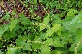 Miterwort (Mitella diphylla)