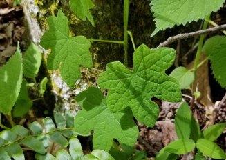 Moonseed (Menispermum canadense)