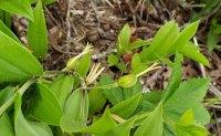 Mountain Bellwort( Uvularia puberula) Fruit