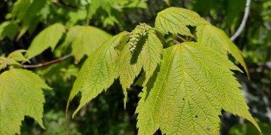 Mountain Maple (Acer spicatum)