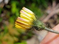 Mouse-ear Hawkweed (Hieracium pilosella*)