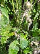 Mouse-ear Hawkweed (Hieracium pilosella)