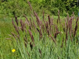 Neat Purple Grass