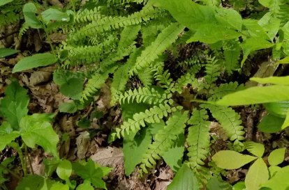 Northern Maidenhair (Adiantum pedatum)
