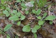 Plantain-leaved Pussytoes (Antennaria plantaginifolia) Leaves