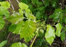 Poison Ivy (Toxicodendron radicans) Buds