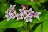 Purple Bluet (Houstonia purpurea)