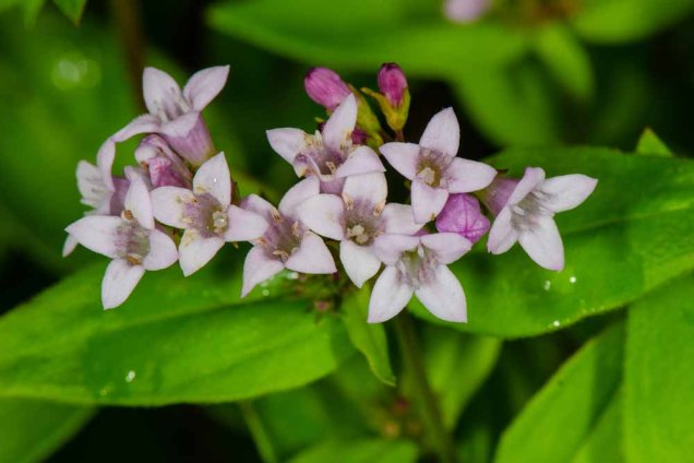 Purple Bluet (Houstonia purpurea)