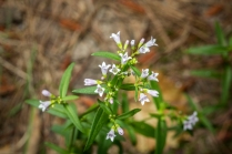 Purple Bluets (Houstonia purpurea)