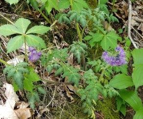 Purple Phacelia (Phacelia bipinnatifida) Plant