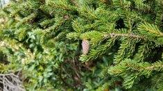 Red Spruce (Picea rubens) Cone