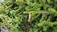 Red Spruce (Picea rubens) Cone