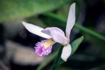 Rose Pogonia (Pogonia ophioglossoides)