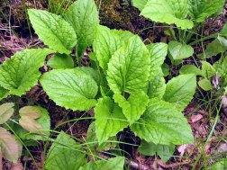 Rugel's Indian Plantain (Rugelia nudicaulis)
