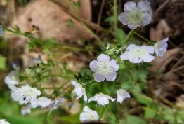 Small-flowered Phacelia (Phacelia dubia)