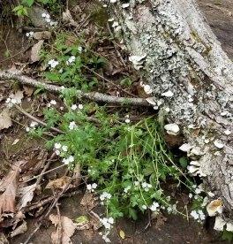 Small-flowered Phacelia (Phacelia dubia) Smushed by a Log