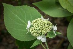 Snowy Hydrangea; Silverleaf (Hydrangea radiata)