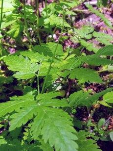 Sweet Cicely (Osmorhiza claytonii)