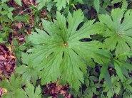 Tassel Rue or False Bugbane (Trautvetteria caroliniensis)