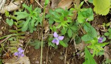 Three Lobed or Wood Violet (Viola palmata)