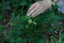 Virginia Ground-Cherry (Physalis virginiana)