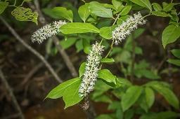Virginia Willow (Itea virginica)