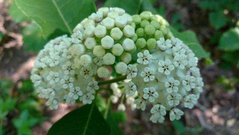 White Milkweed (Asclepias variegata)