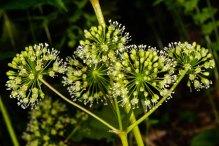 Wild Sarsaparilla (Aralia nuducaulis)