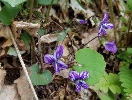 Wild VariBlue Violet