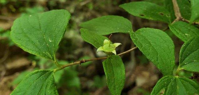 a Mock Orange (Philadelphus sp.)