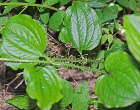 Bristly Greenbrier (Smilax tamnoides)