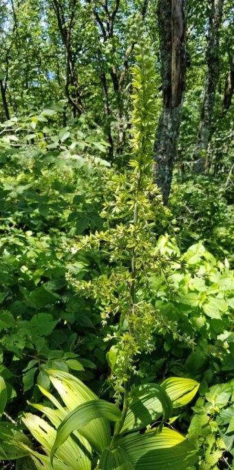 False Hellebore (Veratrum viride) Plant