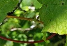 Fringed Black Bindweed (Fallopia cilinodis) Fringe