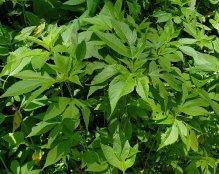 Giant Ragweed (Ambrosia trifida)