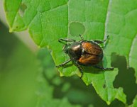Japanese Beetle (Popillia japonica)