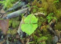 Kidney-leaf Twayblade (Neottia smallii)