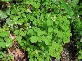 Lady Rue (Thalictrum clavatum) Plant