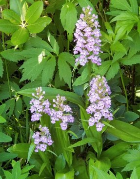 Large Purple Fringed Orchid (Platanthera grandiflora)